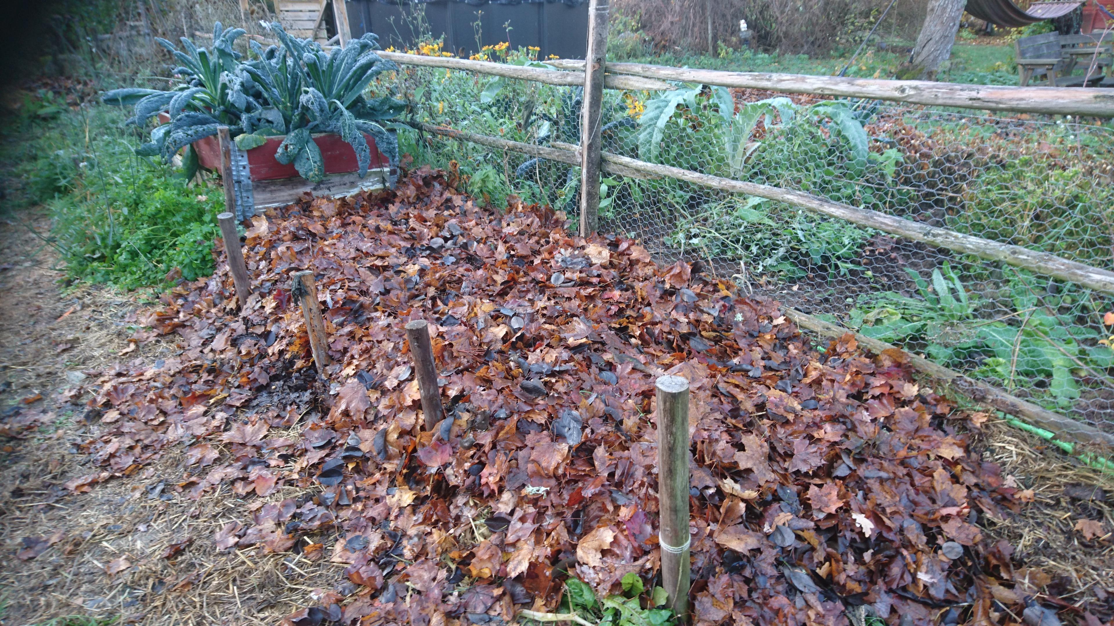 Täckodlad vitlöksbädd. Odlingsyta täckt med löv.